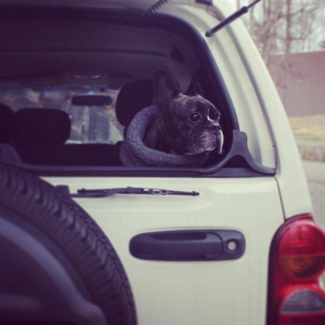 フレンチブルドッグドライブ