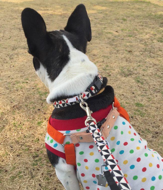 フレンチブルドッグ 保護犬
