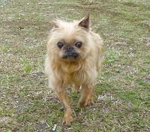 里親保護犬,ブリュッセル・グリフォン